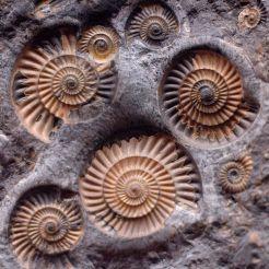 Fossiles de coquillages exposés au Smithsonian. Photo par Cody Geary (Pinterest)